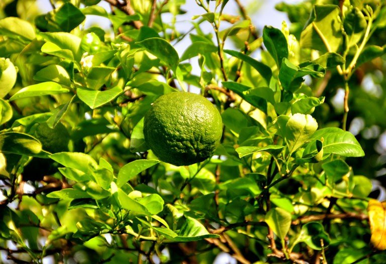 The Unique Laraha Orange